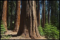 Sunlit sequoia trees. Sequoia National Park ( color)