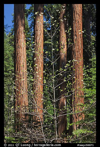 Dogwood in early bloom and sequoia grove. Sequoia National Park (color)