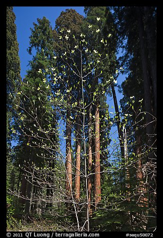 Blooming dogwood and grove of sequoia trees, Hazelwood trail. Sequoia National Park, California, USA.