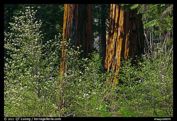 Dogwoods and sequoias. Sequoia National Park (color)