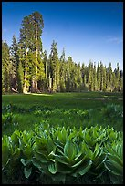 Corn lillies and sequoias in Crescent Meadow. Sequoia National Park, California, USA.