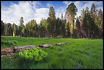 Crescent Meadow, late afternoon. Sequoia National Park, California, USA. (color)