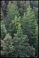 Pine forest canopy. Sequoia National Park ( color)