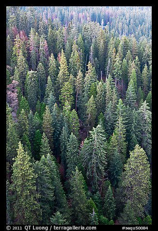 Evergreen forest from above. Sequoia National Park (color)