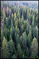 Evergreen forest from above. Sequoia National Park ( color)