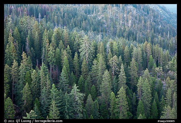 Evergreen forest seen from Moro Rock. Sequoia National Park (color)