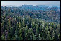 Forest and mountains at dusk. Sequoia National Park ( color)