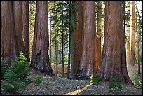 Group of backlit sequoias, early morning. Sequoia National Park, California, USA.