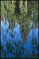 Sequoia trees reflected in pond, Huckleberry Meadow. Sequoia National Park ( color)