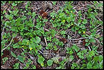 Close-up of forest floor with flowers, shamrocks, and cones. Sequoia National Park, California, USA. (color)