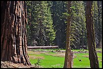 Huckleberry Meadow, sequoia and deer. Sequoia National Park, California, USA. (color)