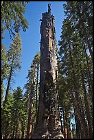 Dead Giant. Sequoia National Park ( color)