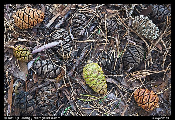 Close-up of cones of the sequoia trees. Sequoia National Park, California, USA.
