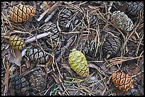 Close-up of cones of the sequoia trees. Sequoia National Park ( color)