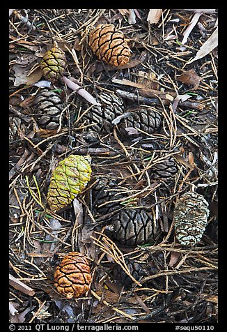 Close-up of fallen sequoia cones. Sequoia National Park (color)