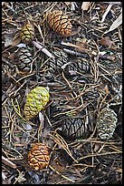 Close-up of fallen sequoia cones. Sequoia National Park, California, USA. (color)