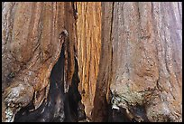 Bark at the base of sequoia group. Sequoia National Park ( color)