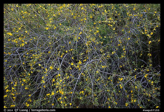 Branches and yellow blooms. Sequoia National Park (color)