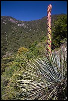 Yucca stem and forested slopes. Sequoia National Park ( color)