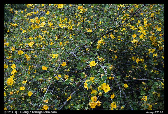 Multiple yellow blooms on tree. Sequoia National Park (color)