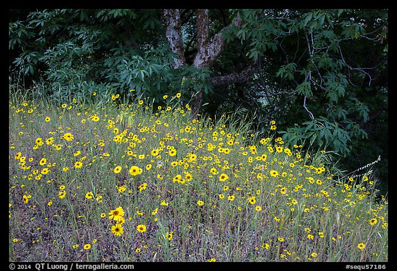 Carpet of yellow flowers and oak trees. Sequoia National Park (color)
