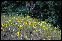 Carpet of yellow flowers and oak trees. Sequoia National Park ( color)