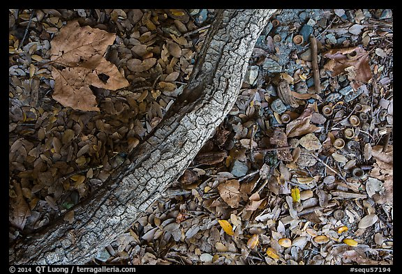 Ground view with branch under oak tree. Sequoia National Park (color)