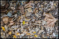 Ground view with fallen acorns. Sequoia National Park ( color)