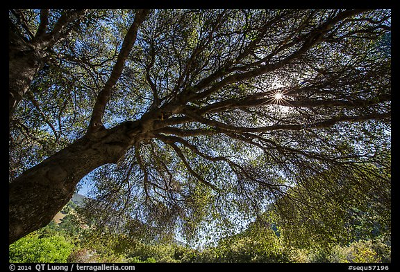 Looking up branches of oak tree in spring and sun. Sequoia National Park (color)