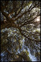 Looking up branches of oak tree and sunstar. Sequoia National Park ( color)