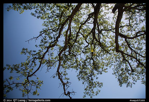 Looking up branches of oak tree with new leaves. Sequoia National Park (color)