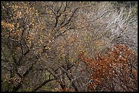 Tangle of bare tree branches and branches with faded leaves. Sequoia National Park ( color)