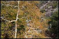Trees in autumn and Middle Fork of the Kaweah River. Sequoia National Park ( color)
