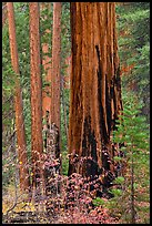Dogwood and sequoias in autumn. Sequoia National Park ( color)
