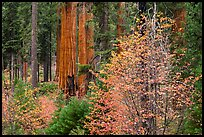 Dogwoods in autumn foliage and sequoia grove. Sequoia National Park ( color)