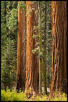 Sequoia trees in autumn. Sequoia National Park ( color)