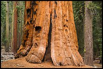 Base of General Lee tree, Giant Forest. Sequoia National Park ( color)
