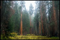Meadow surrounded by sequoia trees in autum, Giant Forest. Sequoia National Park ( color)