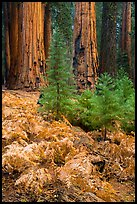 Ferns, sapplings and sequoia trees in autumn. Sequoia National Park ( color)