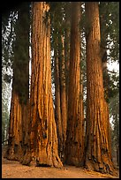 Senate Group. Sequoia National Park ( color)