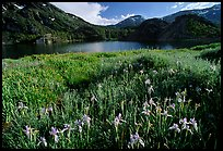 Summer flowers and Lake near Tioga Pass, late afternoon. California, USA