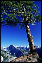 Pine tree and Half-Dome from Yosemite Point, late afternoon. Yosemite National Park, California, USA.