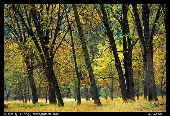 Oaks in fall in El Capitan meadow. Yosemite National Park (color)