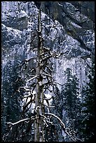 Tree in El Capitan meadows and Cathedral Rocks cliffs, winter. Yosemite National Park, California, USA.