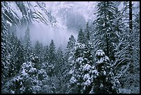 Forest with snow and fog near Vernal Falls. Yosemite National Park ( color)