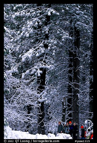 Hikers and snowy trees. Yosemite National Park (color)