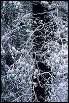 Tree with branches covered by snow. Yosemite National Park, California, USA.