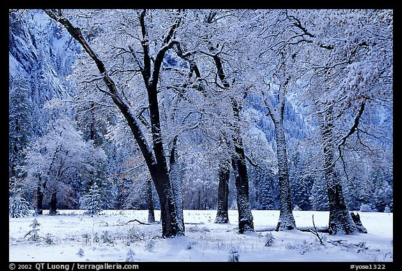 Black Oaks with snow on branches, El Capitan meadows, winter. Yosemite National Park (color)