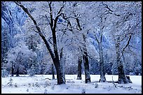 Black Oaks with snow on branches, El Capitan meadows, winter. Yosemite National Park, California, USA.