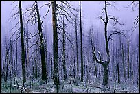 Burned forest in winter along  Big Oak Flat Road. Yosemite National Park, California, USA.